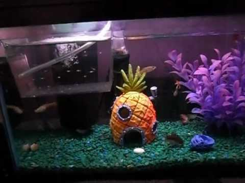 Baby guppy care youtube for Guppy fish care