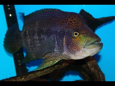 Very Aggressive Fish  The Growing Pains Of Keeping A Wolf Cichlid