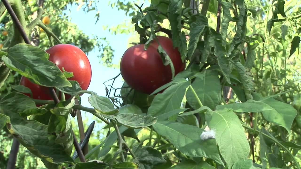 Cultiver ses tomates au jardin soins et entretien youtube for Youtube entretien jardin