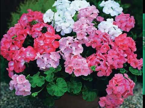Комнатный цветок его выращивание 101