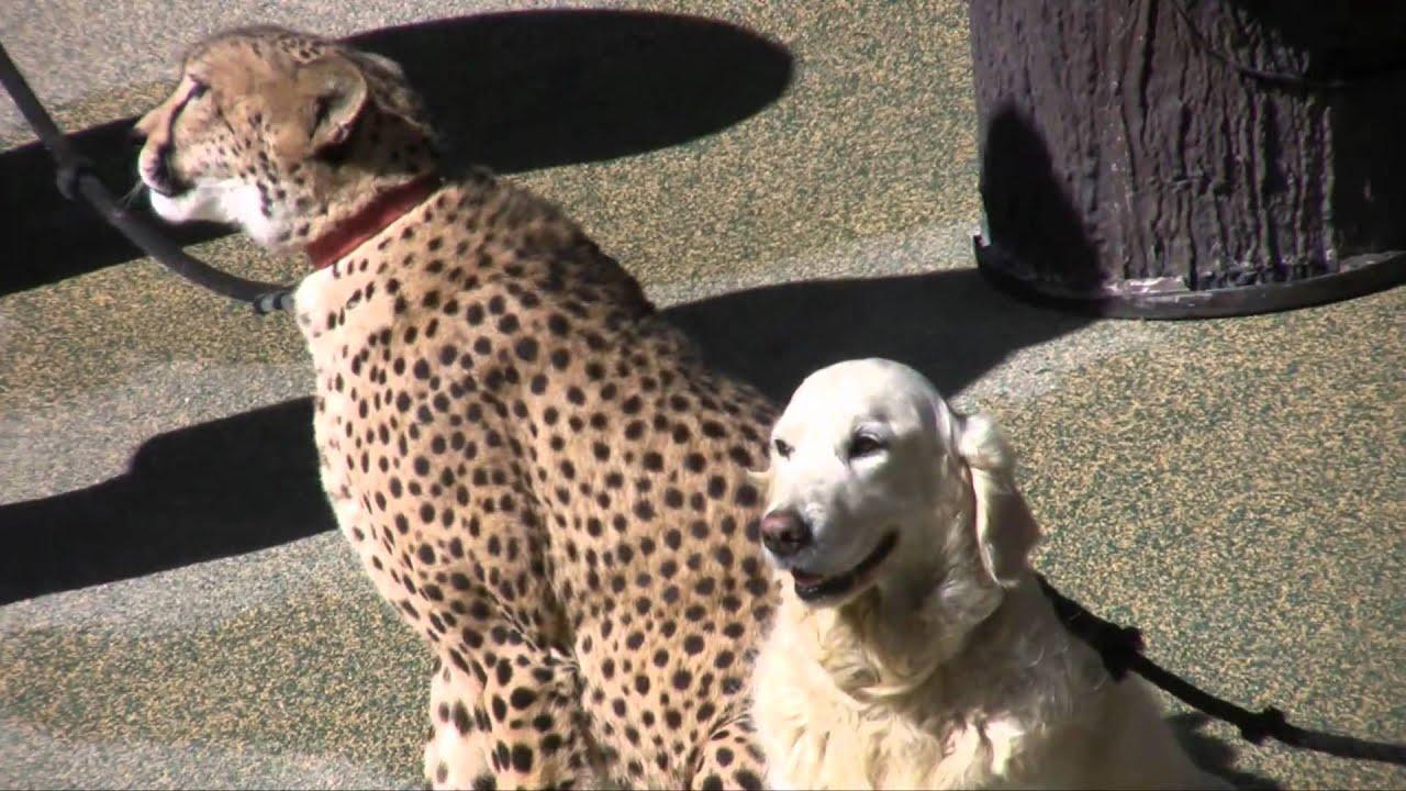 Usain Bolt Pet Cheetah