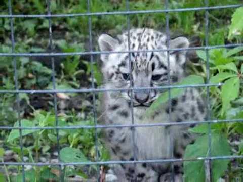 Adorable Snow Leopard Cubs