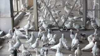 Ustad Anil Sood Pigeons Kinari bazar Delhi-6 India-Indian 9