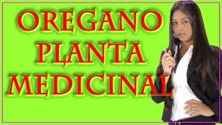 Oregano Planta Medicinal | Propiedades,Beneficios y usos medicinales del Oregano