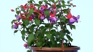 Çiçek Tanıtımı - Küpeli Çiçeği Bakımı ve Yetiştirmesi