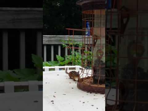 Chipmunk in feeder