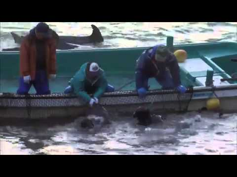Baby Dolphins Hunted & Slaughtered In Taiji, Japan