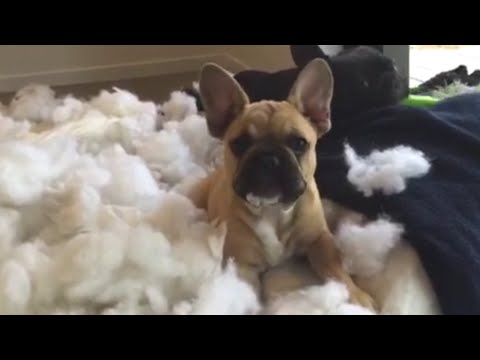 いたずらをしてしまった罪悪感アリアリの犬たちが絶対許してしまうレベル。