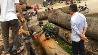 Quy trình cắt cây gỗ lim siêu khủng chất xanh vàng và cách nhận biết cây gỗ đẹp