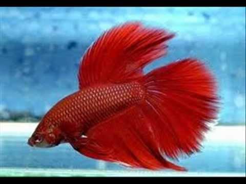 Cuidados del pez betta youtube for Manual de peces ornamentales