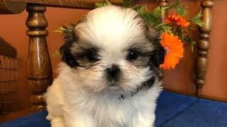 Cutes dogs | Cutest dog in the world | Cute dogs clips 2016 | shih tzu