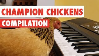Awesome Chickens | Funny Pet Video Compilation 2017