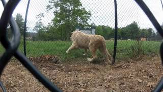 Lion vs Tiger at Nemacolin Zoo