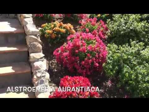 Header of Alstroemeria aurantiaca