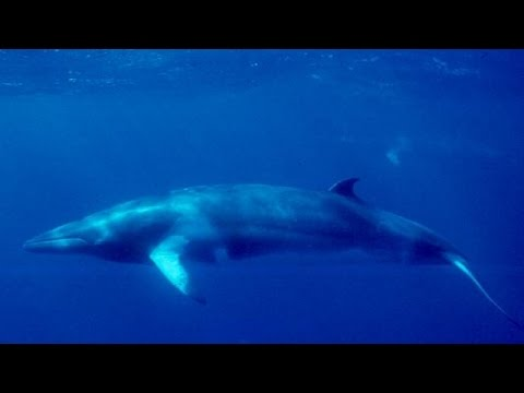 Japan Claims It Killed 333 Whales For 'Scientific' Purposes - Newsy