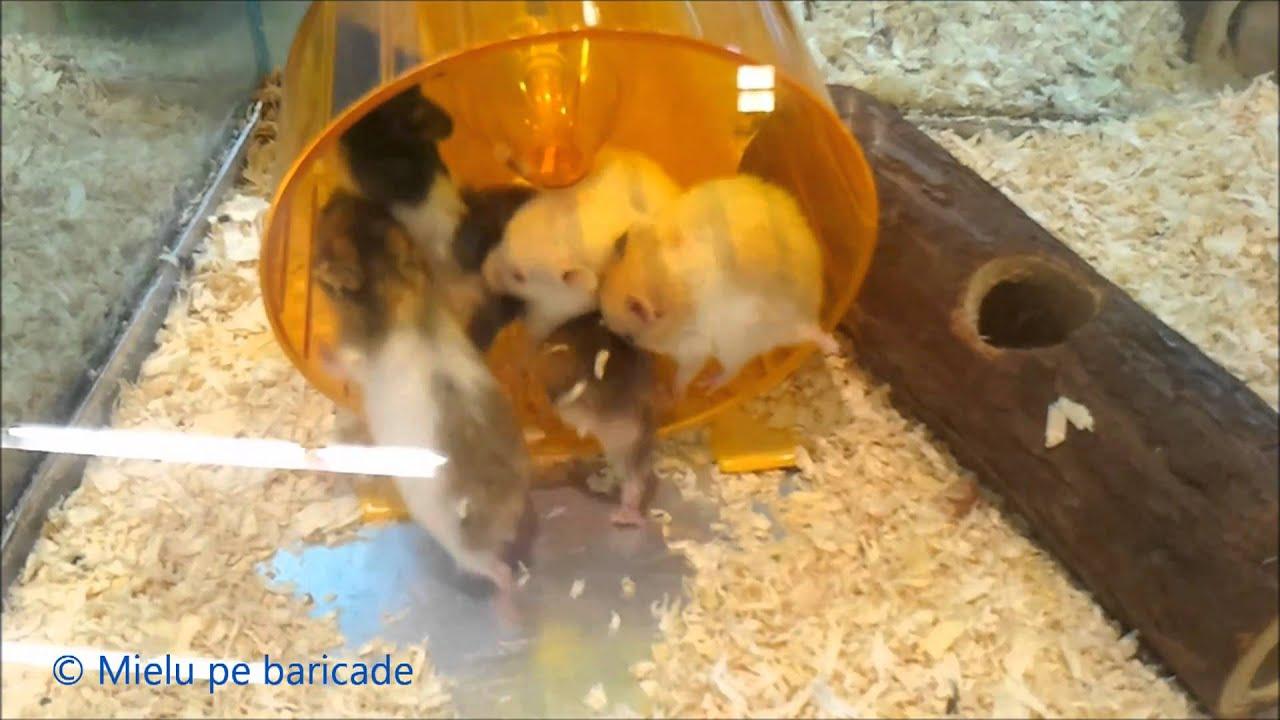 Crazy Hamsters Wheel Crazy Hamsters Running