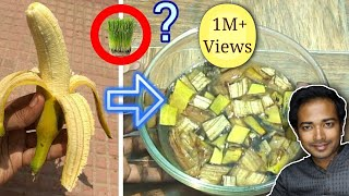 Banana peels fertilizer quick and easy