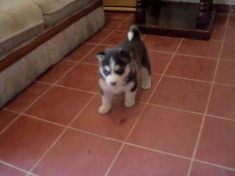 perritos husky 1 mes