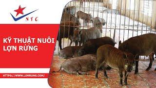 Kỹ Thuật Nuôi Lợn Rừng - Trang Trại Lợn Rừng NTC