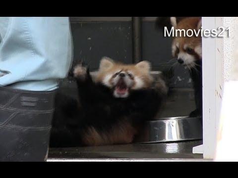 びっくり仰天!!ひっくり返って驚くレッサーパンダの赤ちゃんが激可愛い!!