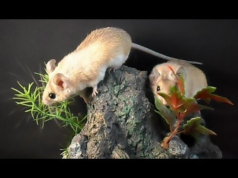 Egyptian Spiny Mice (Mouse lullaby)