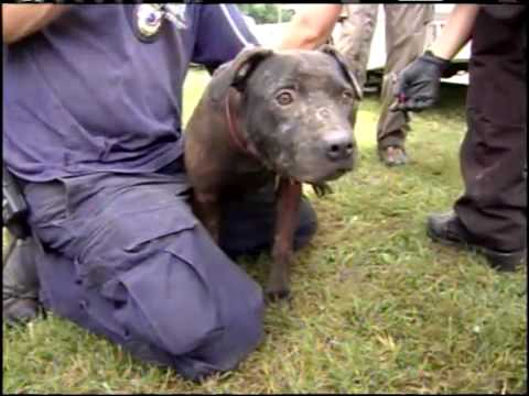 Dog Fighting Rescue the Missouri Humane Society