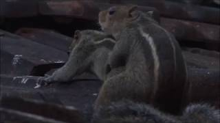Indian Squirrels Mating