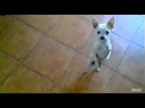 Chihuahua  bailarin