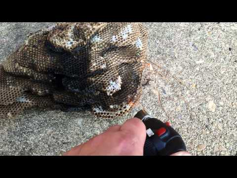 Hornet Vs Praying Mantis Ant Infestation In My ...