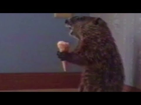 Distriaction: Woodchuck (or groundhog) eats ice cream