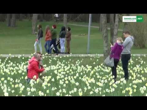 Druskininkai-narcizų miestas 2015 04 26