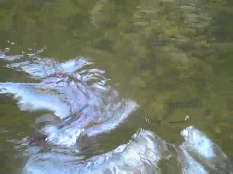 Paint Creek Tennessee Trout Fishing 2010