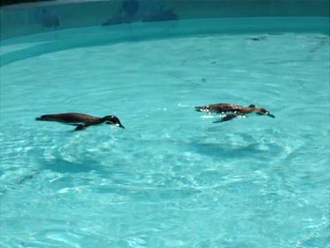 フンボルトペンギン by野毛山動物園