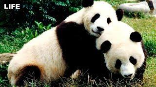 Панды из Поднебесной в московском зоопарке