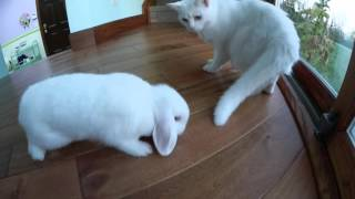 Cute Bunny Playing with Cat