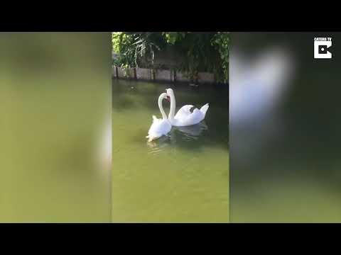 Трогательная встреча лебедей после разлуки