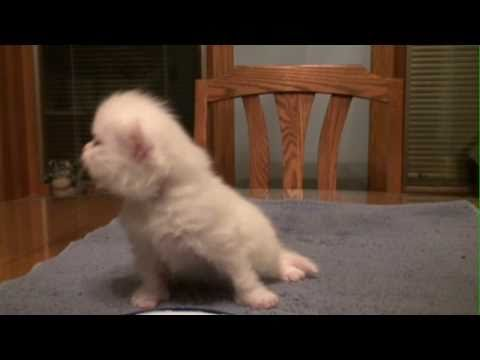 Baby Kitten and his funny meows Video