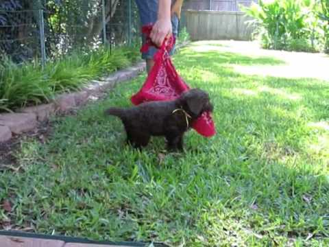 black mini goldendoodle puppies. Red Boy is a lack and white,
