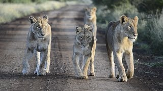 Lions in Kruger Park on overnight safari - South Africa