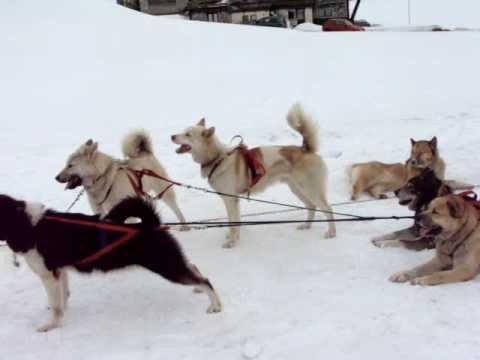 Huskies Pulling Sled Husky Dogs Pulling Sled