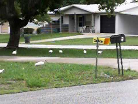 Ibises in a Neighbor's Yard, in Light Rain