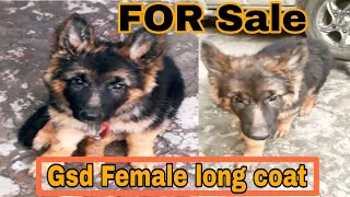 German Shepherd Long coat Female For Sale in Faridabad // Gsd puppy price in India