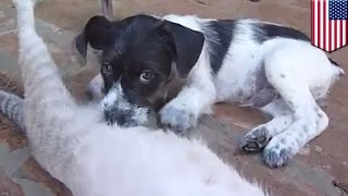 Cat nursing puppy: orphan pup fostered by mommy cat, drinks milk with kitten litter - TomoNews