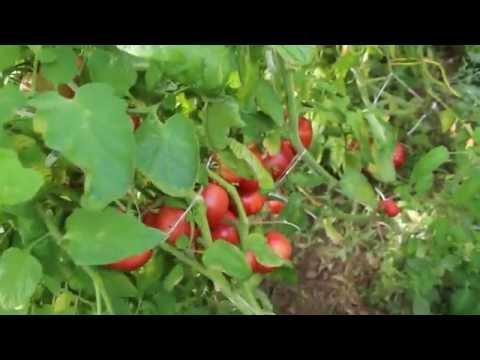 Секрет урожайных помидоров.