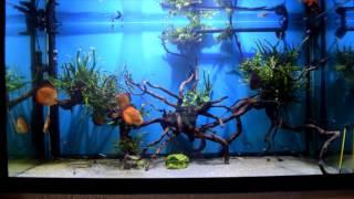 Интерактивный аквариумный туризм Сезон 3 Выпуск 25(Дискусы, очень странные дискусы)