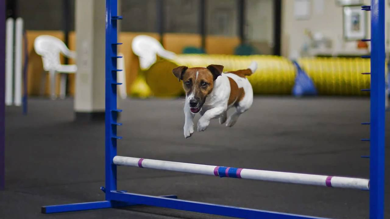 what makes a good agility dog