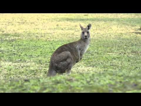 Springende kangoeroe