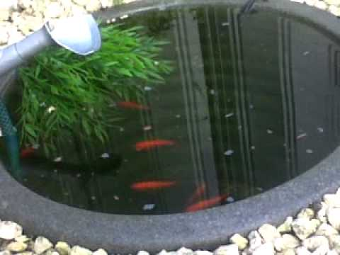 Small goldfish pot pond youtube for Container ponds with fish