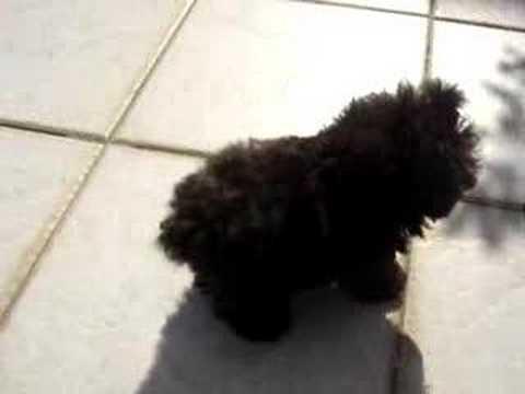 TICA, the world's smallest dog (=o menor cão do mundo) Music Videos