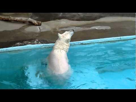 ホッキョクグマのキロル、背泳ぎした後、走り去る